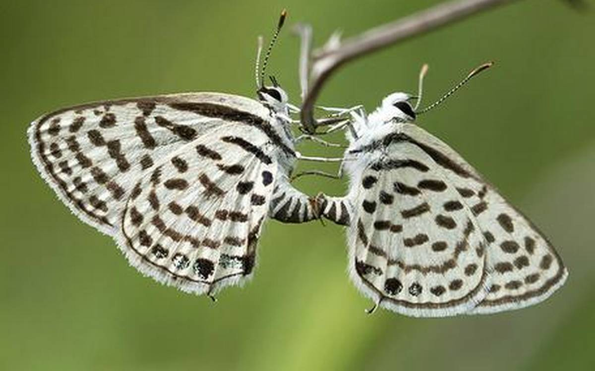 Cánh bướm màu trắng điểm đen rất đẹp
