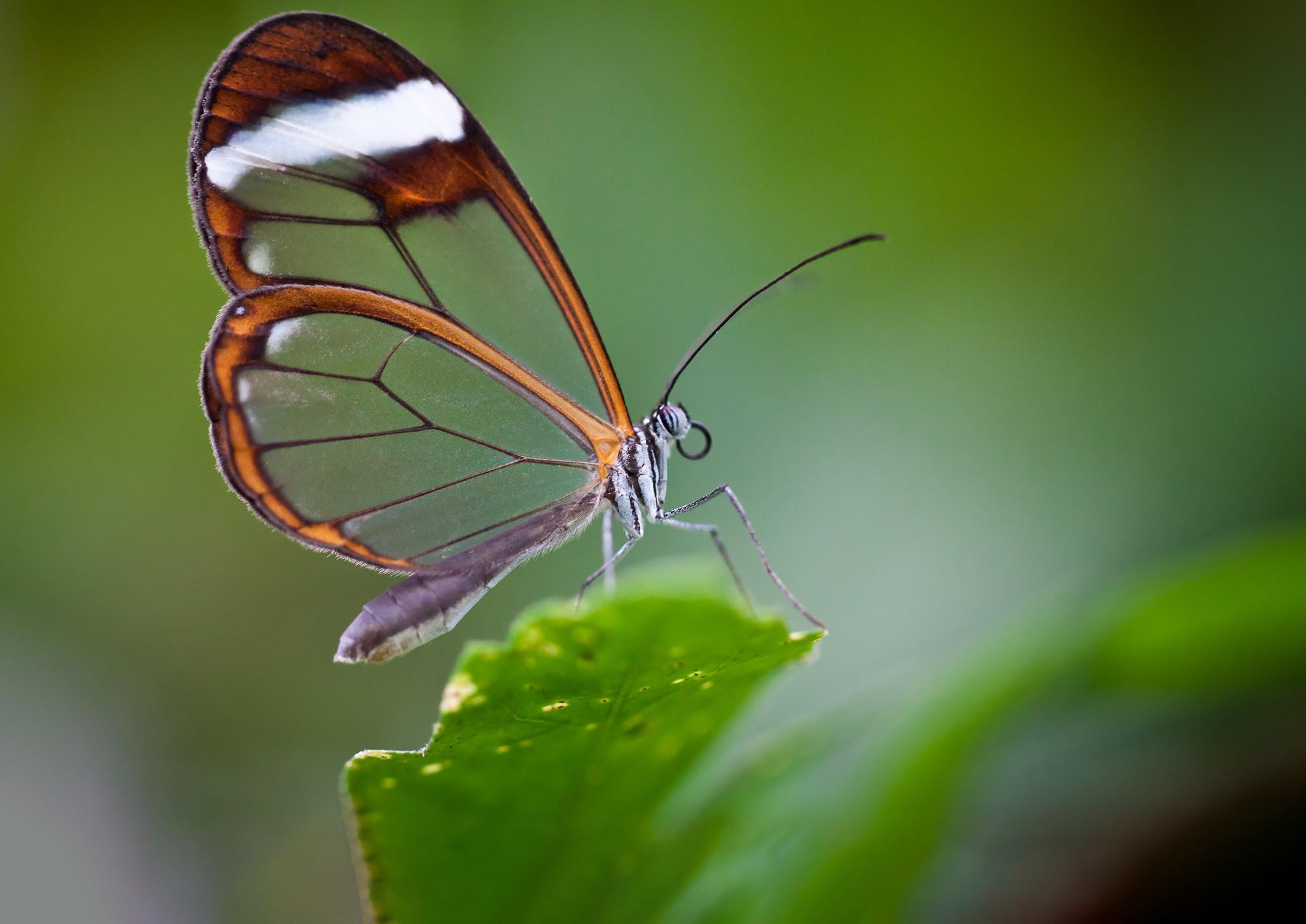 Cánh bướm trong suốt rất đẹp