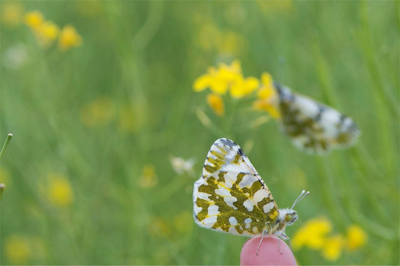 Cánh bướm vằn hình rất đẹp