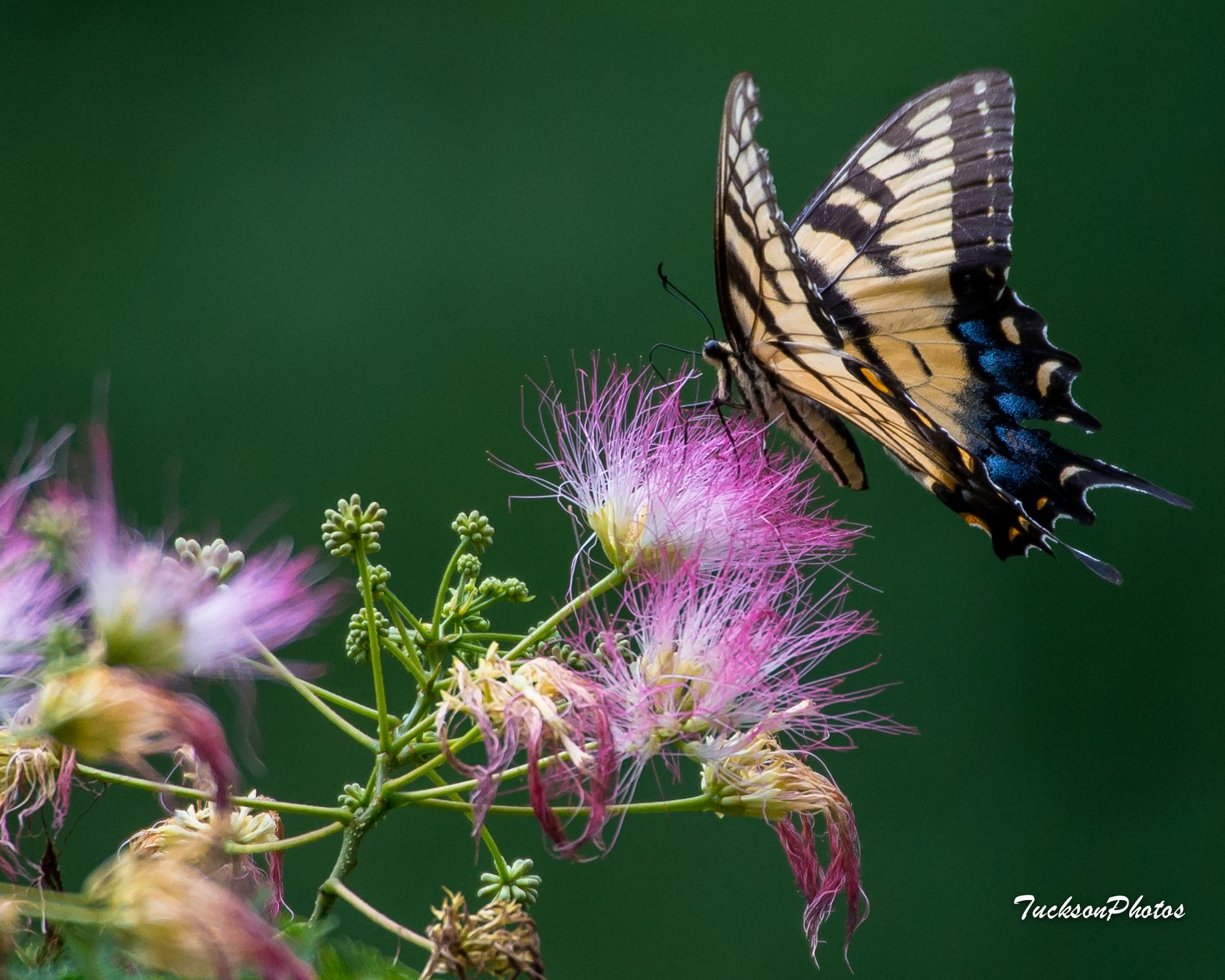 Cánh bướm xinh đẹp điểm xanh