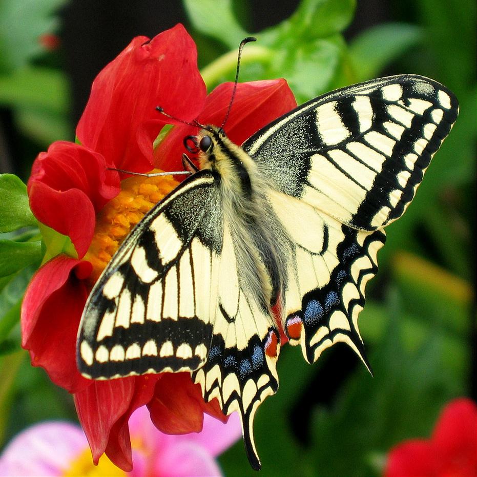 Chú bướm lông có màu trắng đen xanh rất đẹp