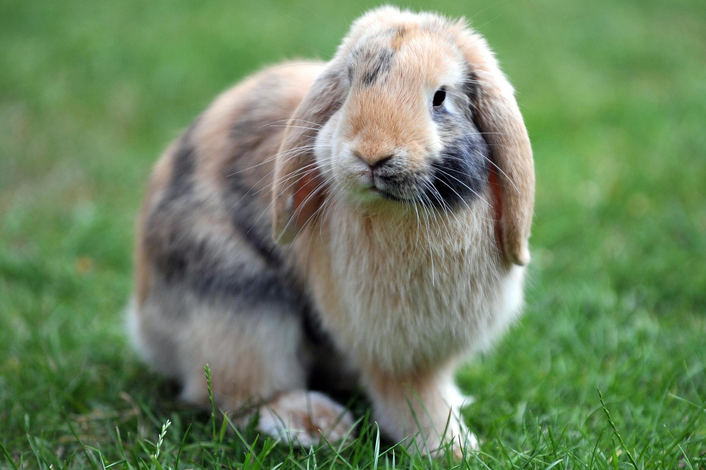 Chú thỏ đáng yêu lông vằn tam thể