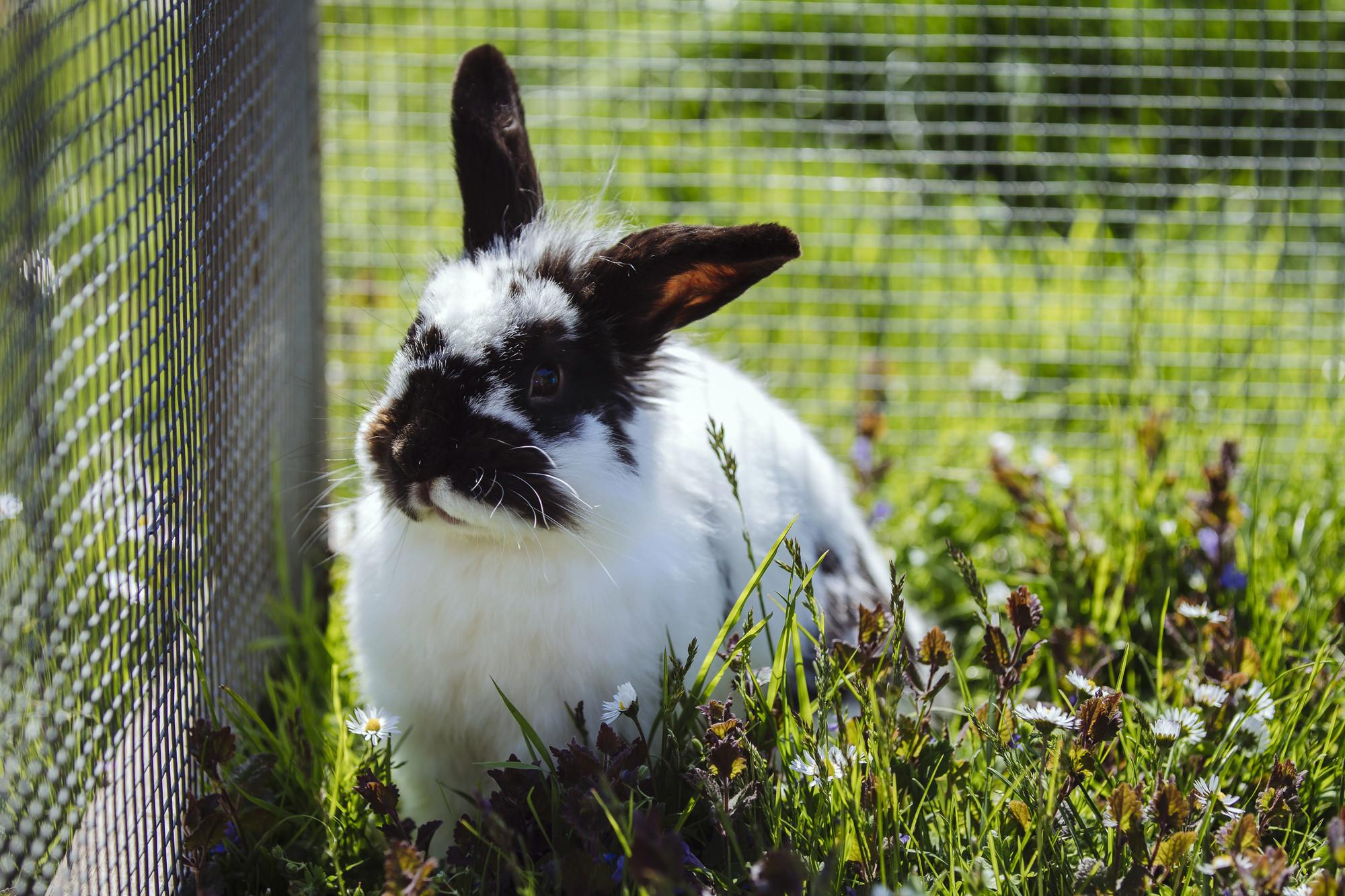 Chú thỏ lông đen trắng đáng yêu