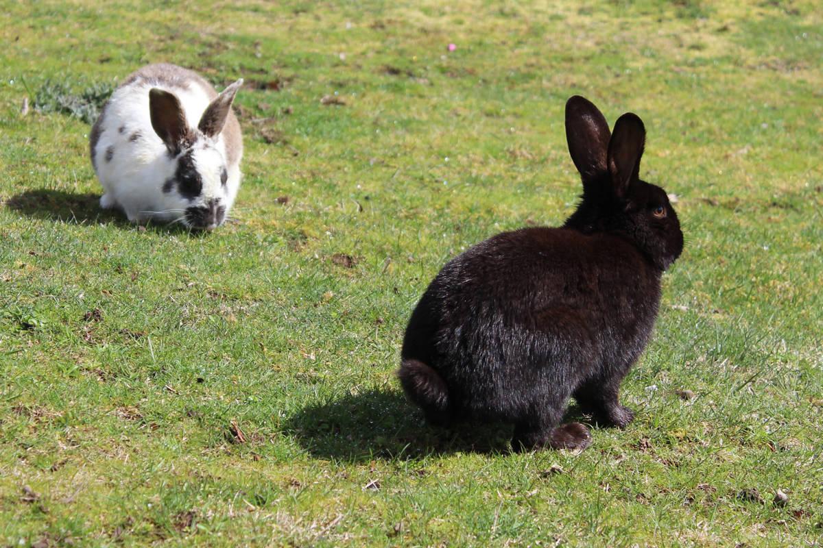 Chú thỏ lông đen và lông màu bò sữa