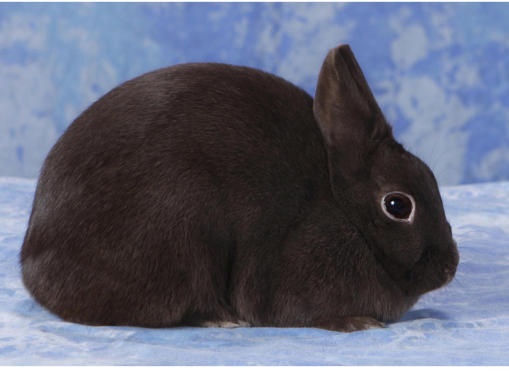 Chú thỏ lông đen xinh xắn