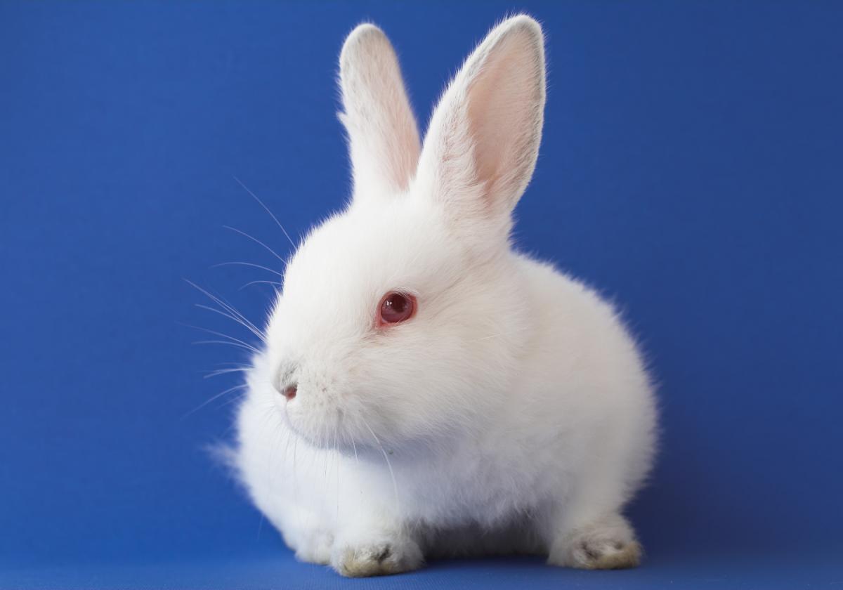 Chú thỏ lông trắng mắt đỏ rất xinh đẹp