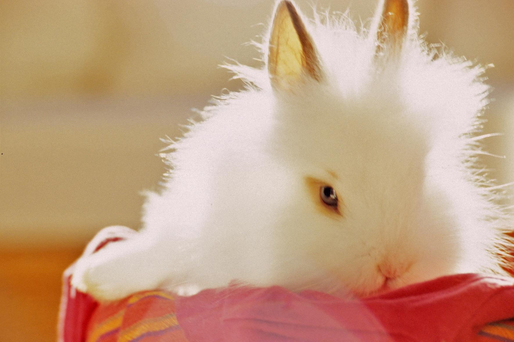 Chú thỏ lông xù rất đáng yêu