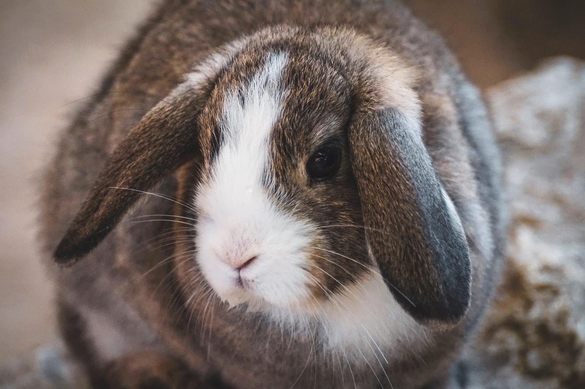 Chú thỏ nâu lông vằn đáng yêu