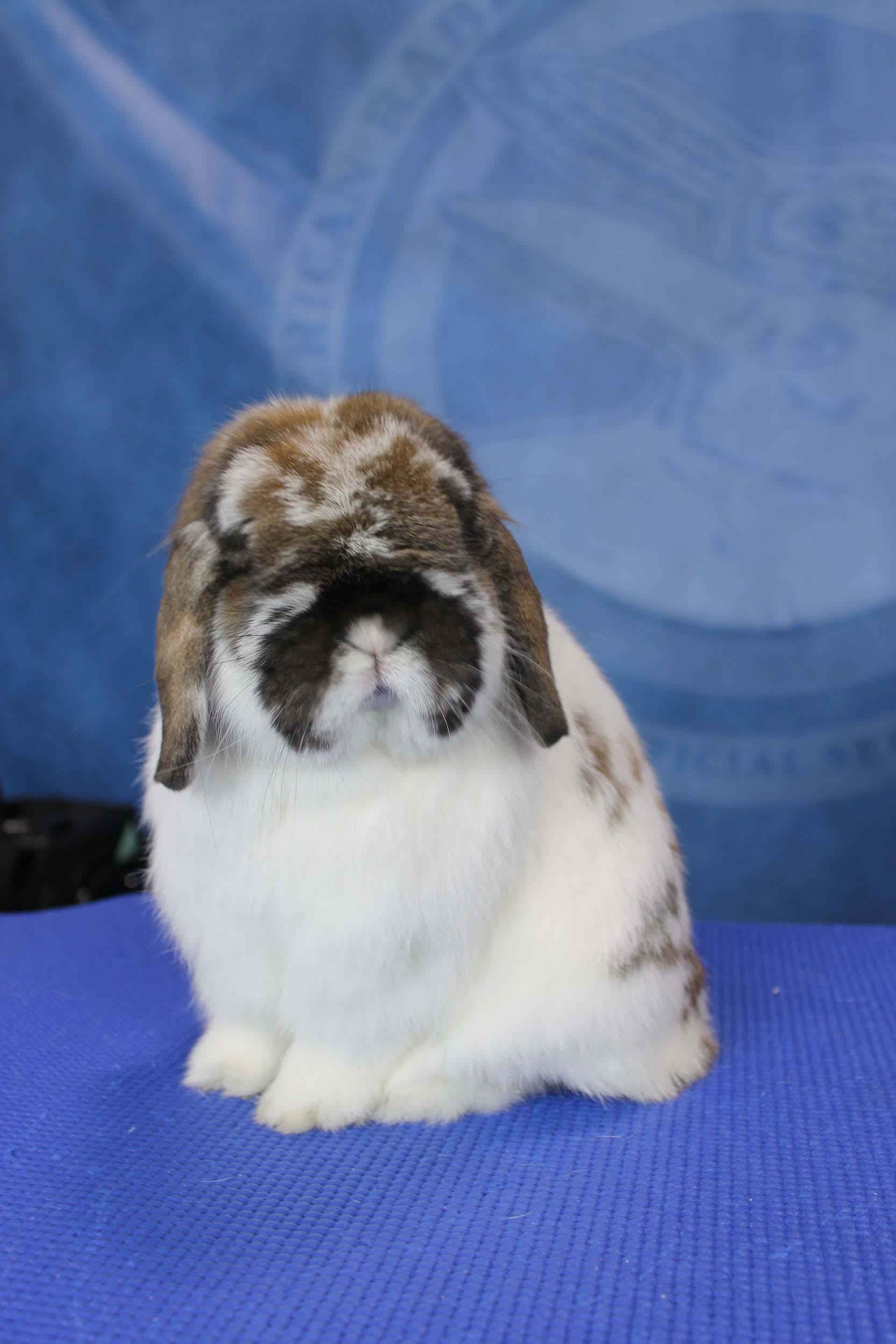 Chú thỏ tai cụp xinh xắn