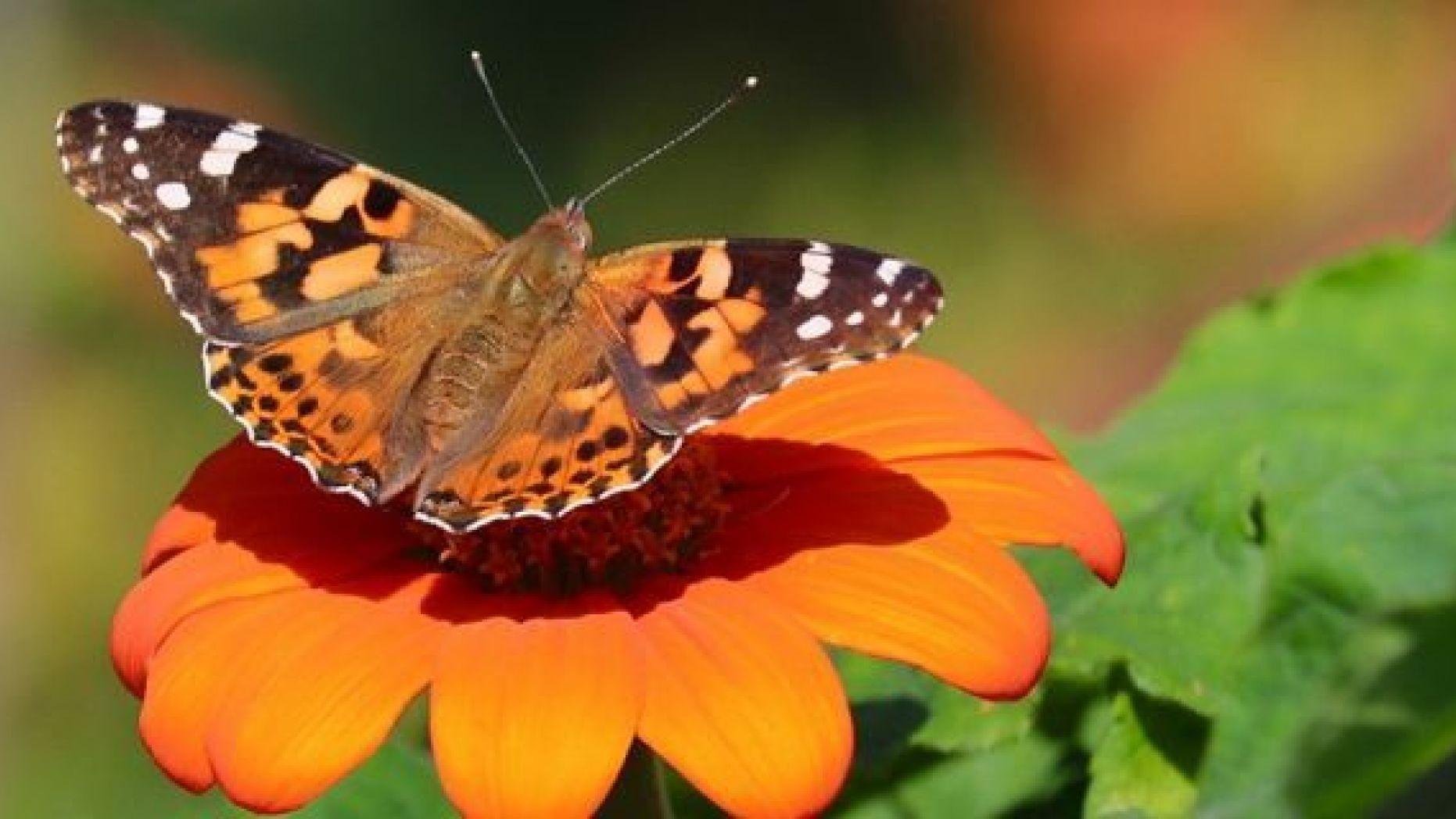 Cnhá bướm xinh màu cam đậu trên bông hoa cam