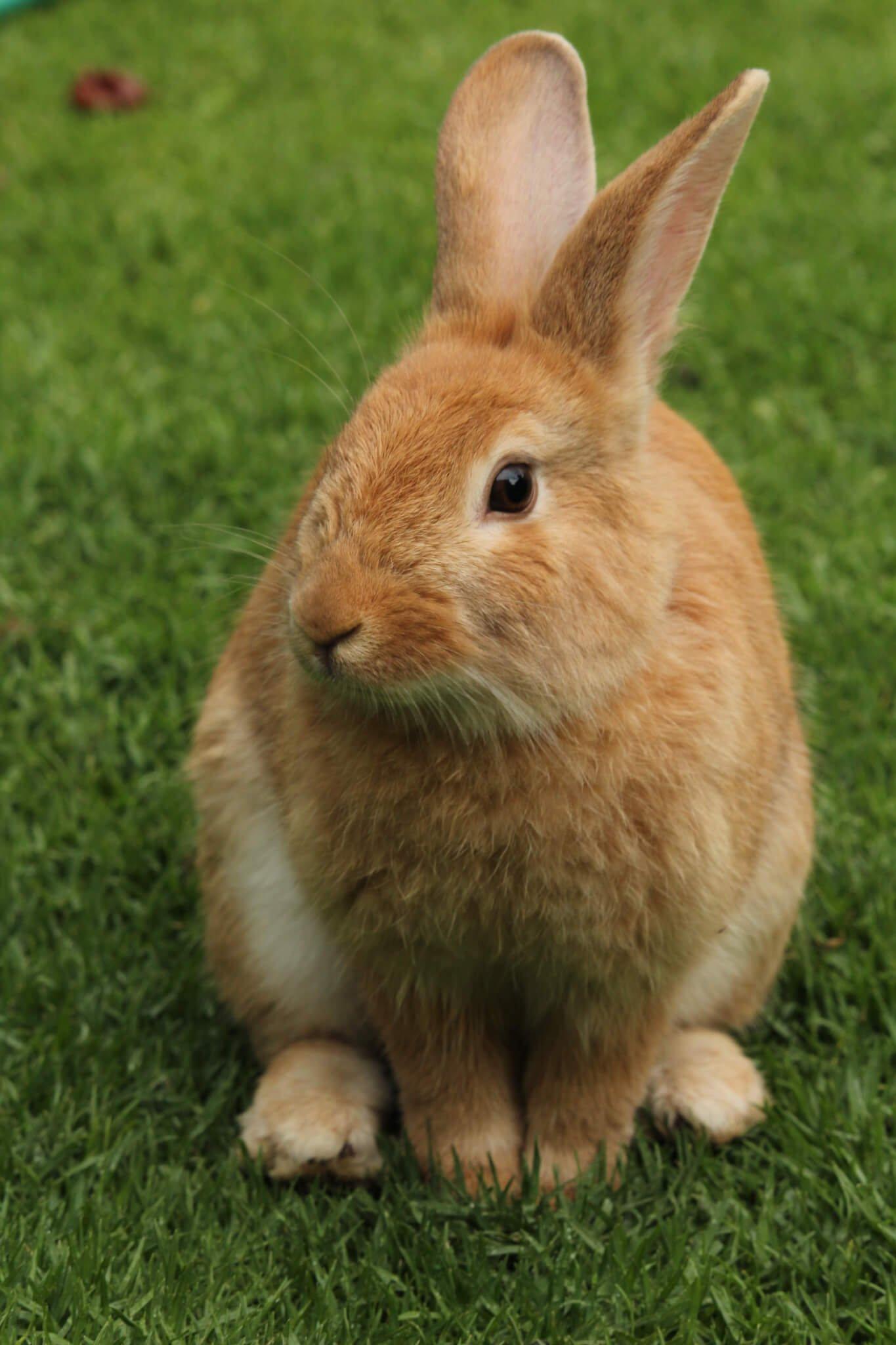 Em thỏ lông vàng xinh xắn đáng yêu