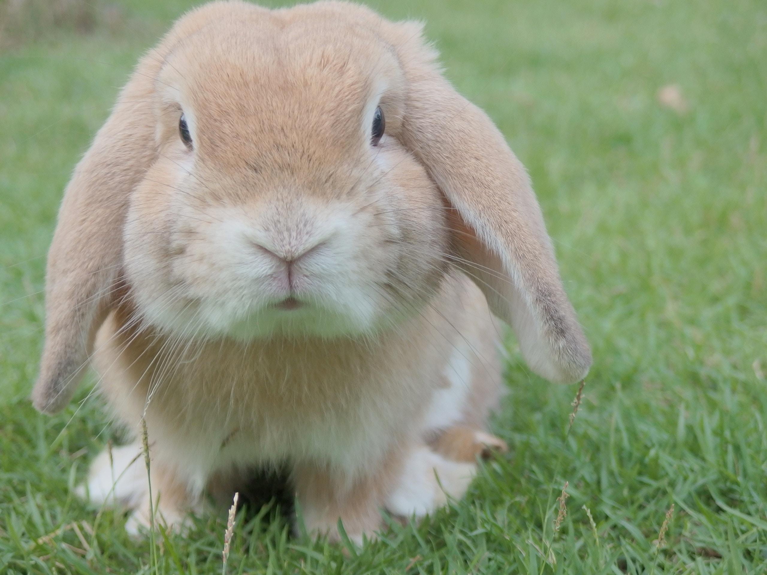 Em thỏ xinh xắn tai cụp đáng yêu