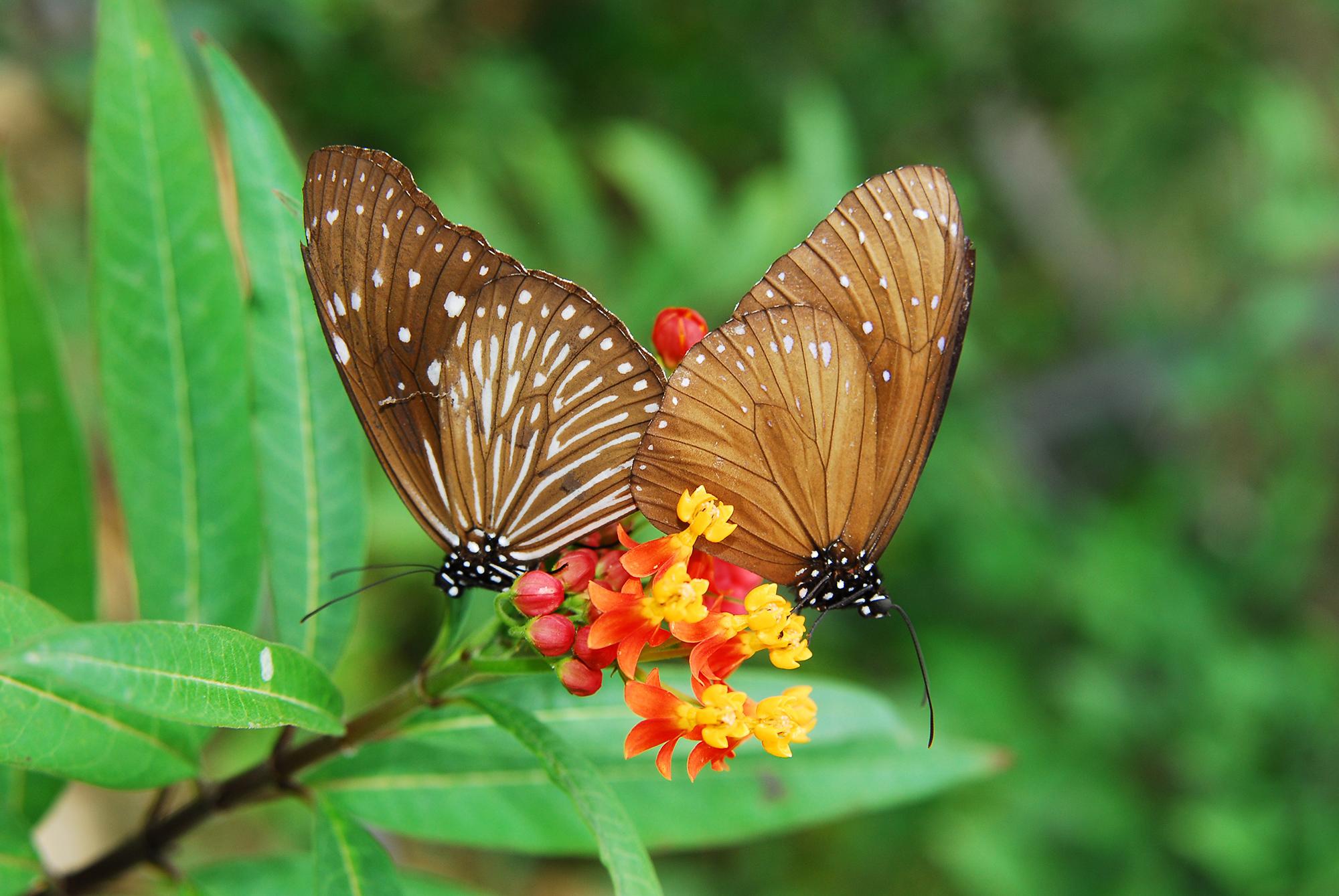 Hai cánh bướm nâu rất đẹp
