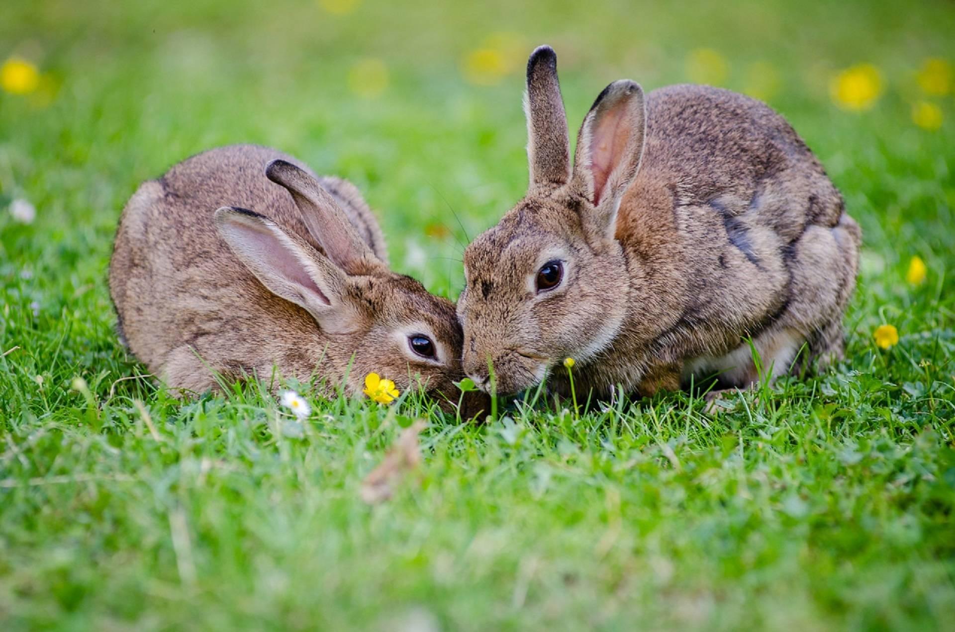 Hai chú thỏ nâu xinh xắn
