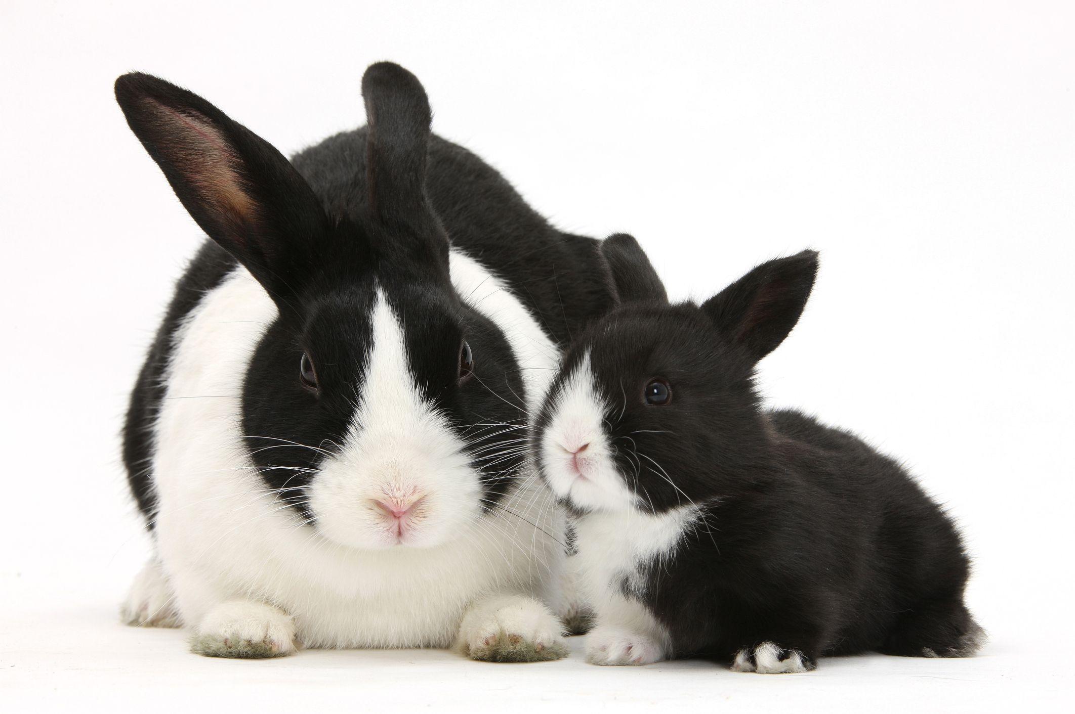 Hai con thỏ lông bò sữa đen trắng rất xinh