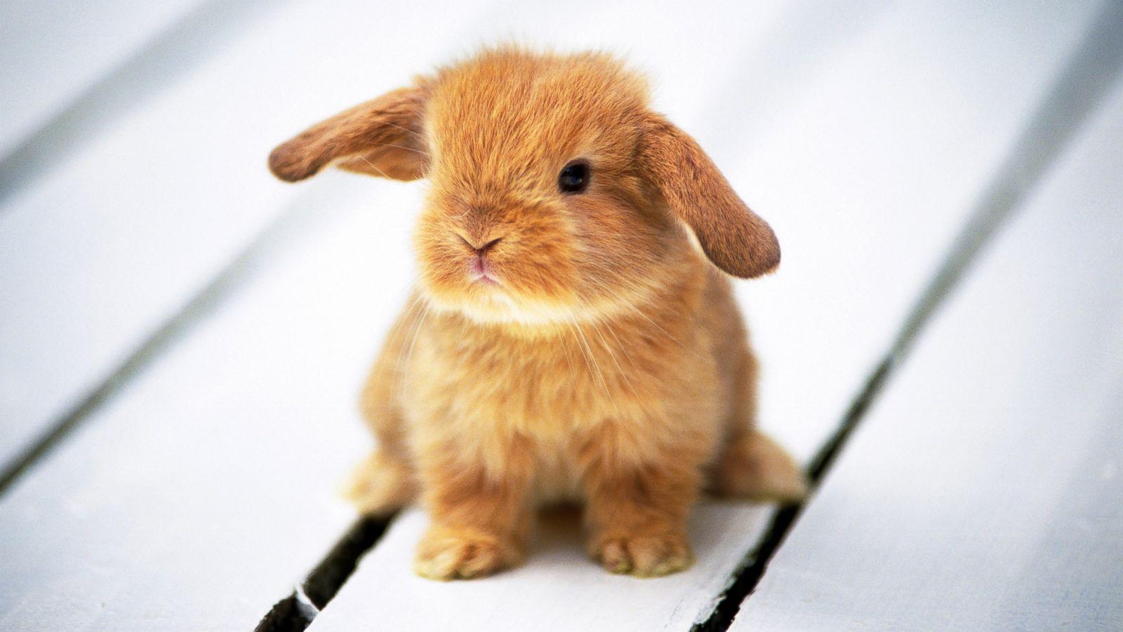 Hình ảnh bé thỏ con xinh xắn lông vàng