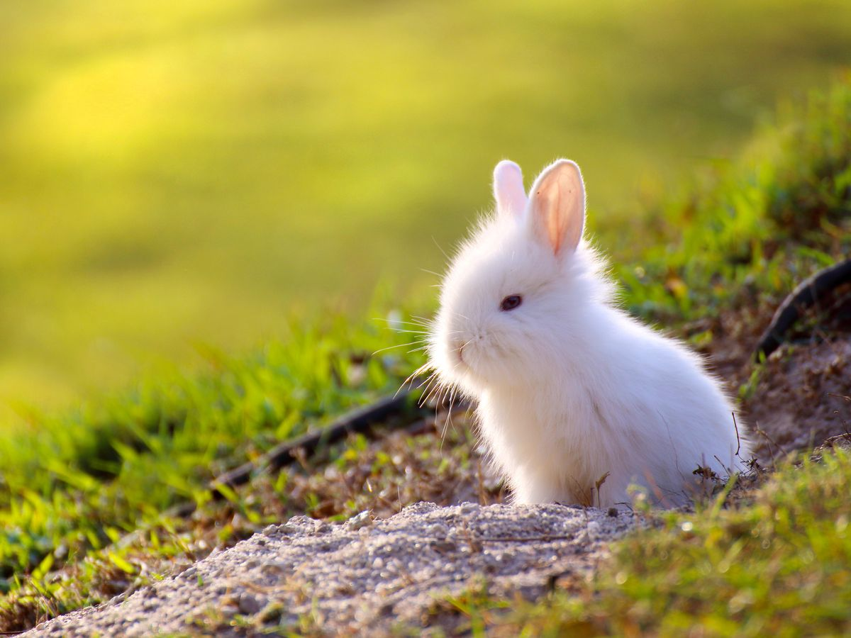 Hình ảnh bé thỏ lông xù trắng trẻo dễ cưng