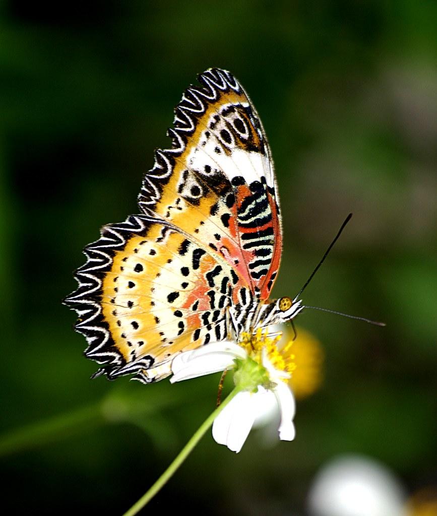 Hình ảnh bướm có vằn rất đẹp