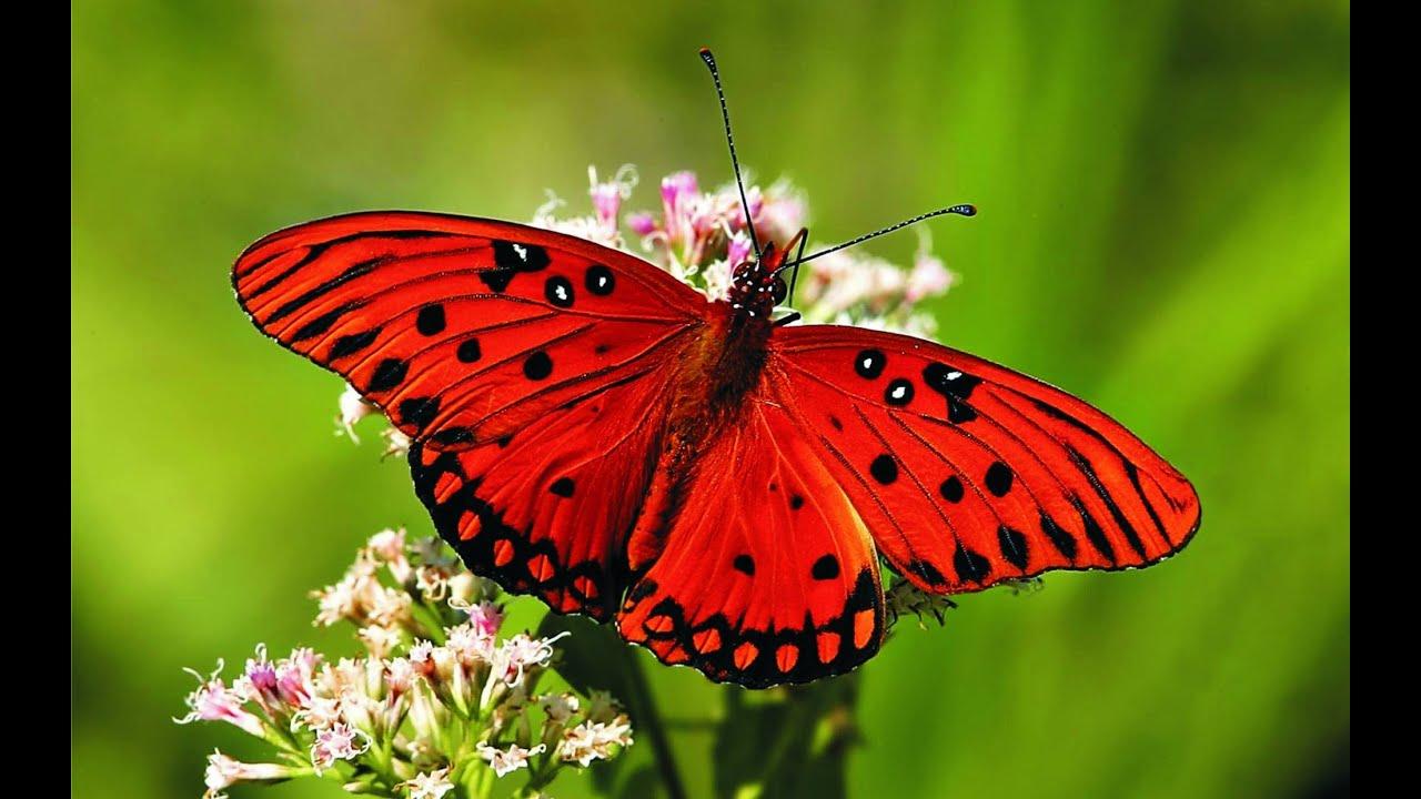 Hình ảnh bướm đỏ rất đẹp