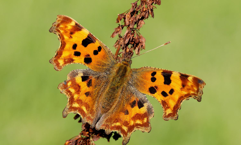 Hình ảnh bướm ngài cam vàng đậu trên cành cây