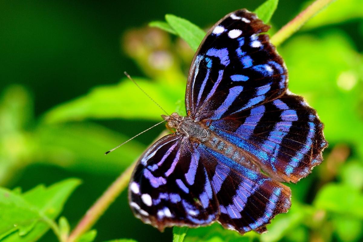 Hình ảnh bướm tím vằn rất đẹp