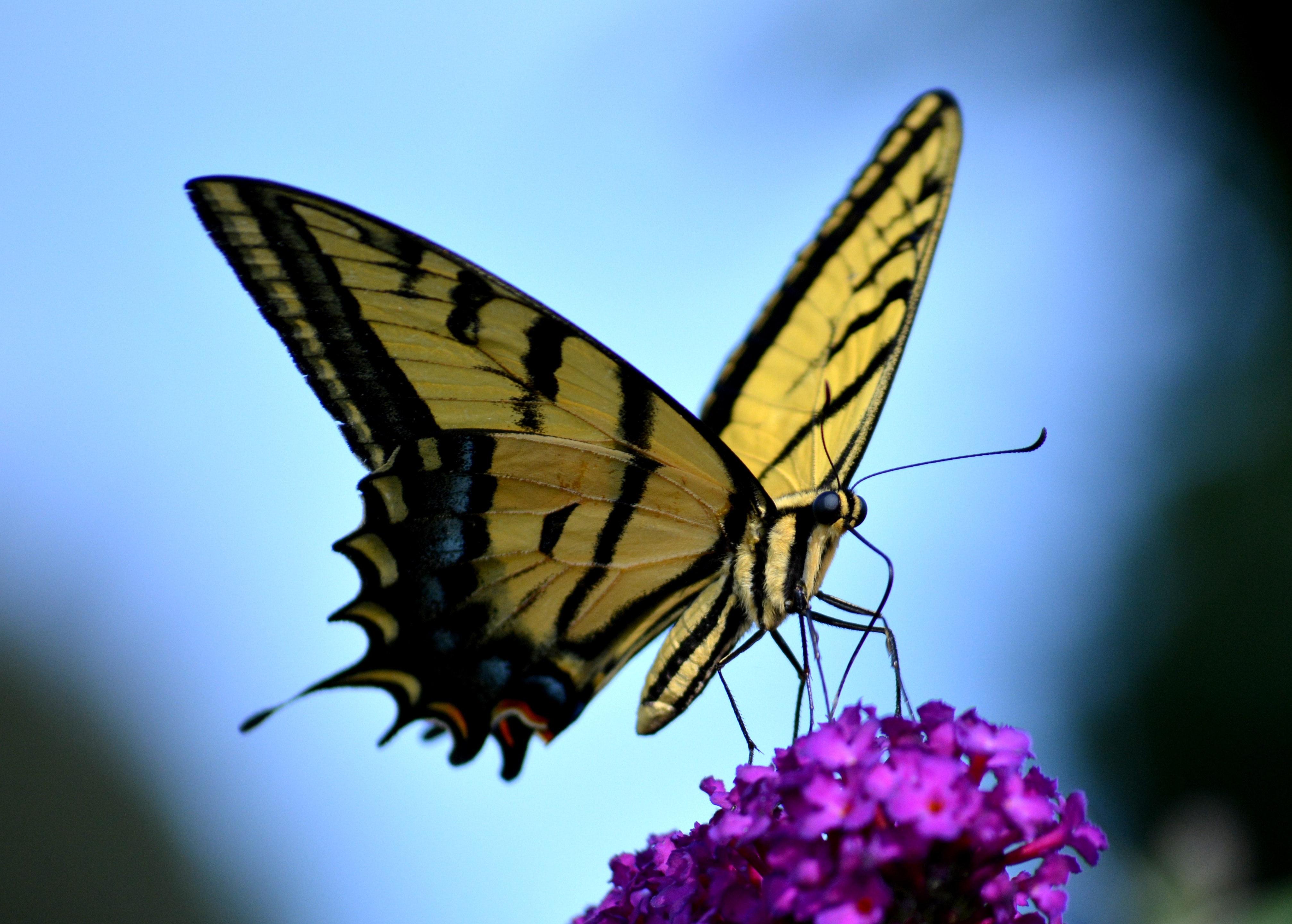 Hình ảnh bướm vàng đậu trên khóm hoa tím