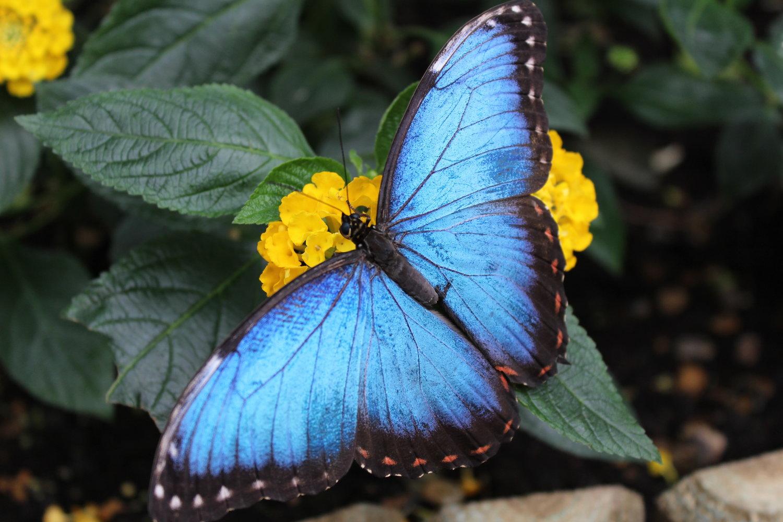 Hình ảnh bướm xanh viền đen thật đẹp