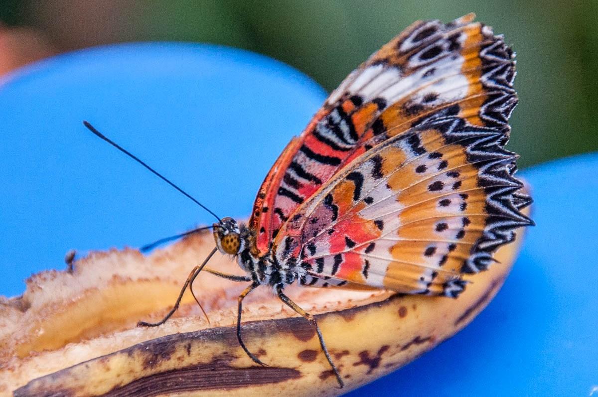 Hình ảnh cánh bướm đuôi cánh ziczac rất đẹp