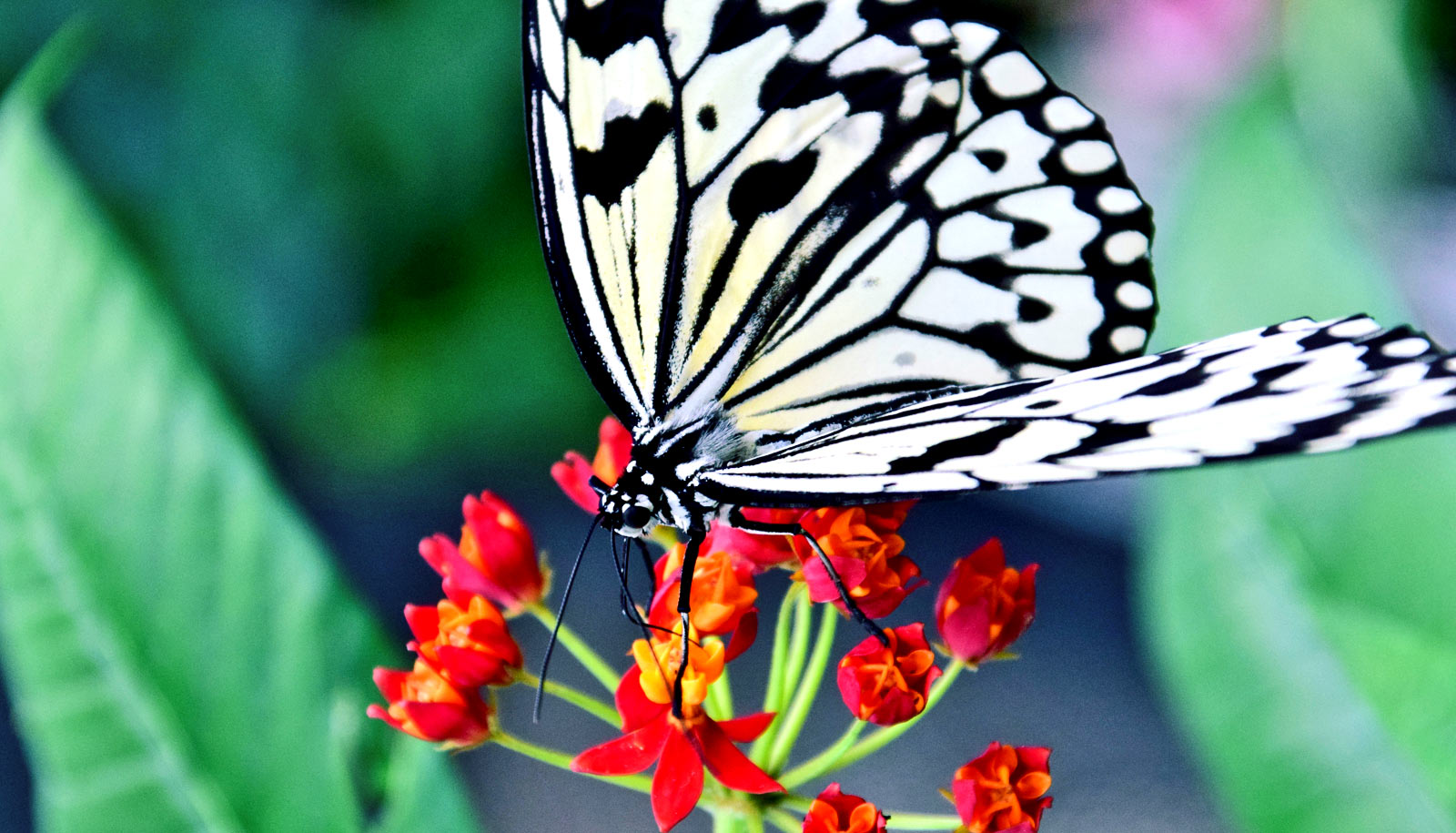 Hình ảnh cánh bướm trắng trên cành hoa đỏ