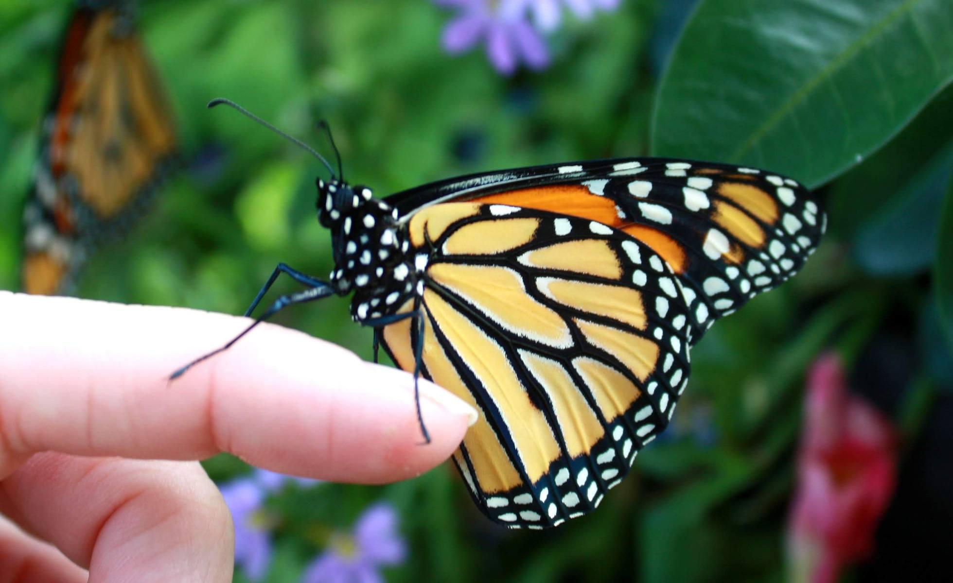 Hình ảnh cánh bướm vàng vằn đen xinh đẹp