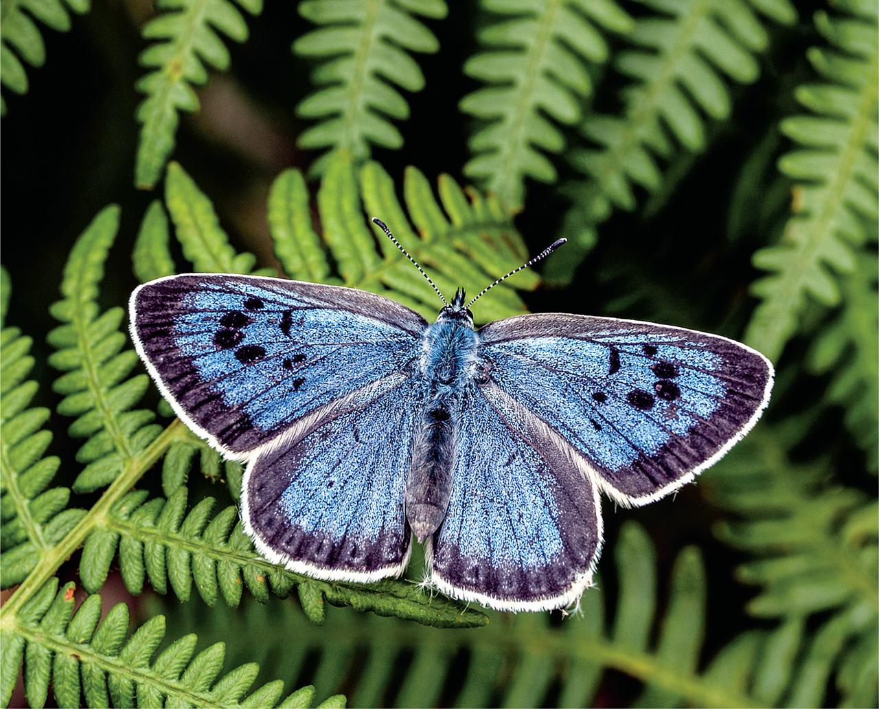 Hình ảnh cánh bướm xanh tuyệt đẹp