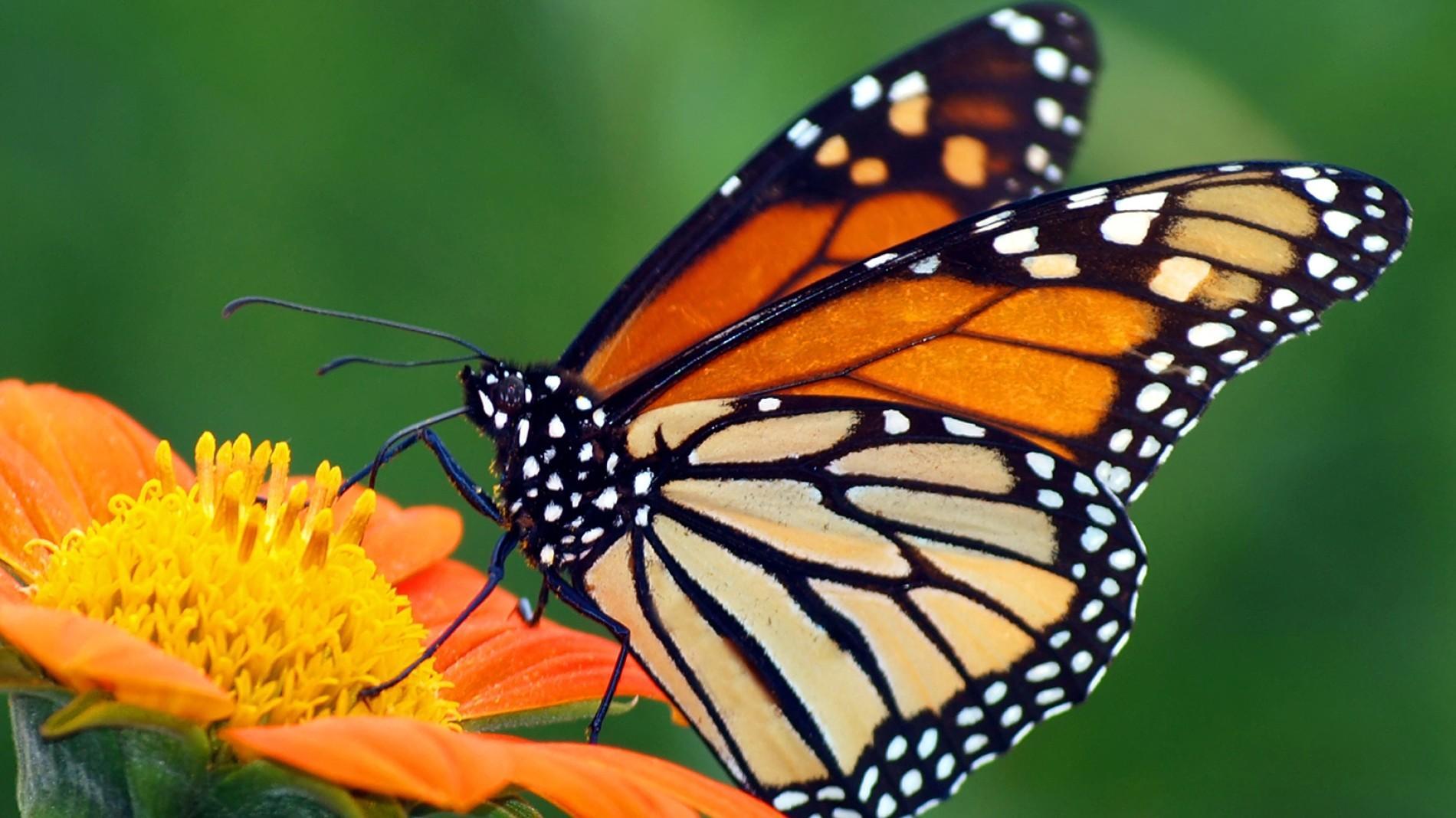 Hình ảnh chú bướm hoang dã đậu trên bông hoa