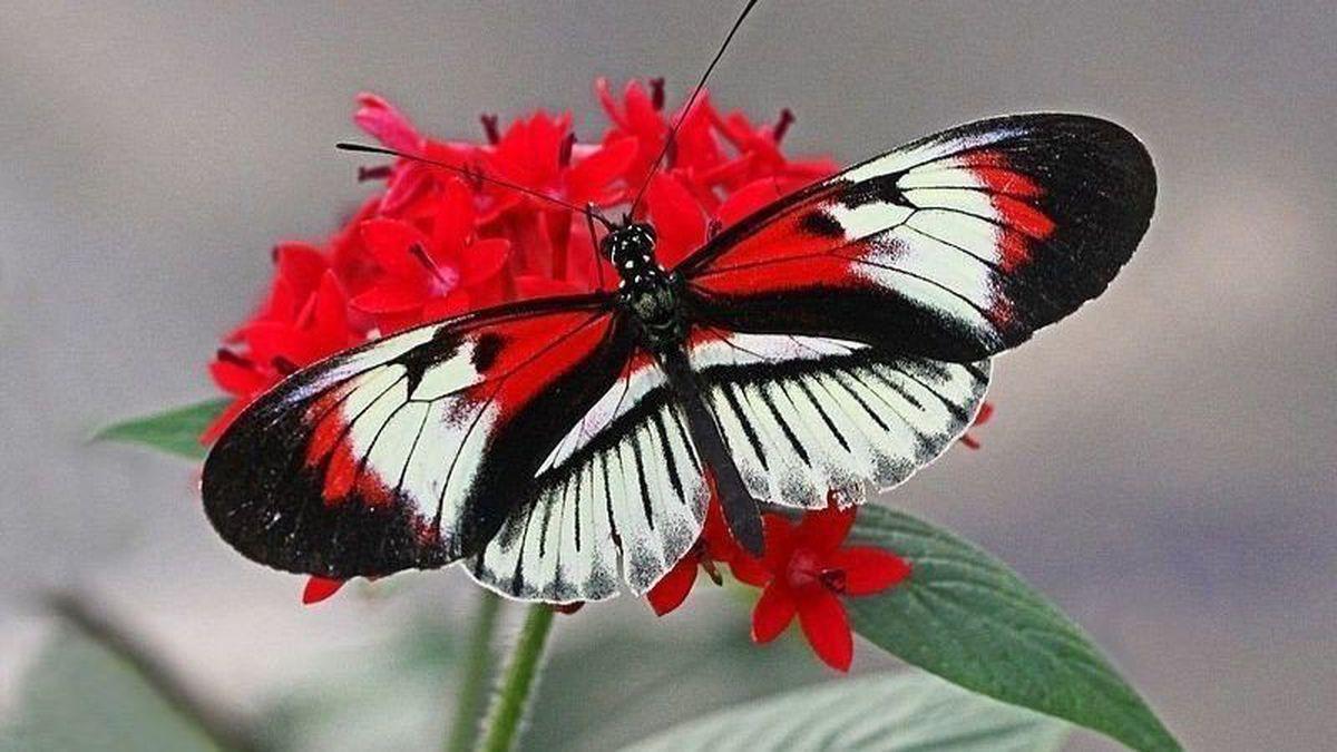 Hình ảnh chú bướm ma mị đậu trên cành hoa đỏ