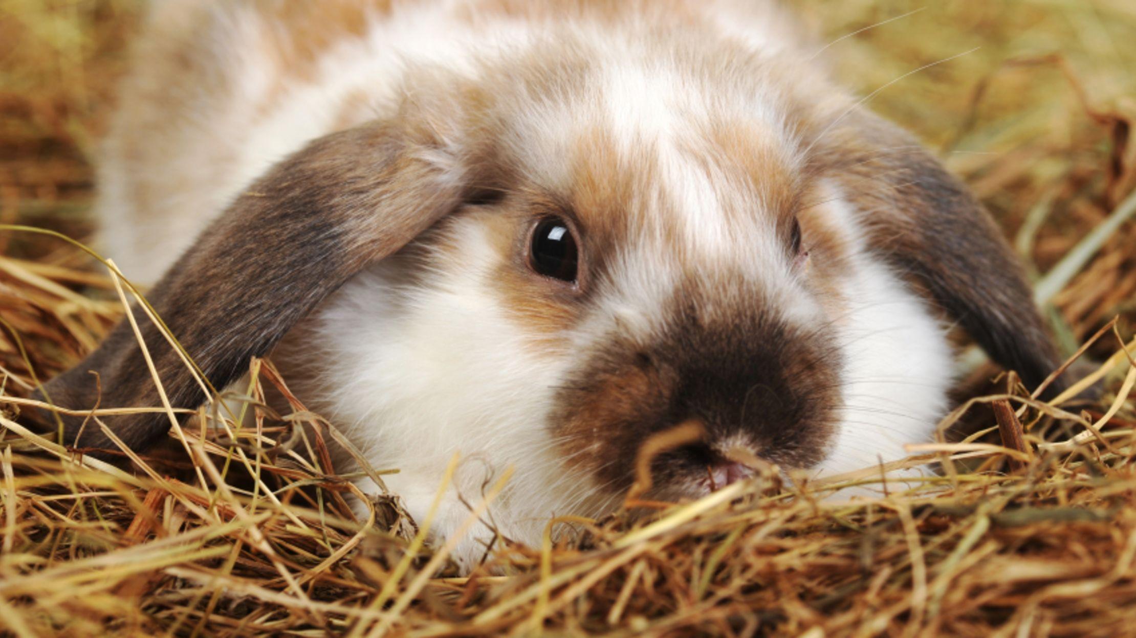 Hình ảnh chú thỏ lông vằng xinh xắn