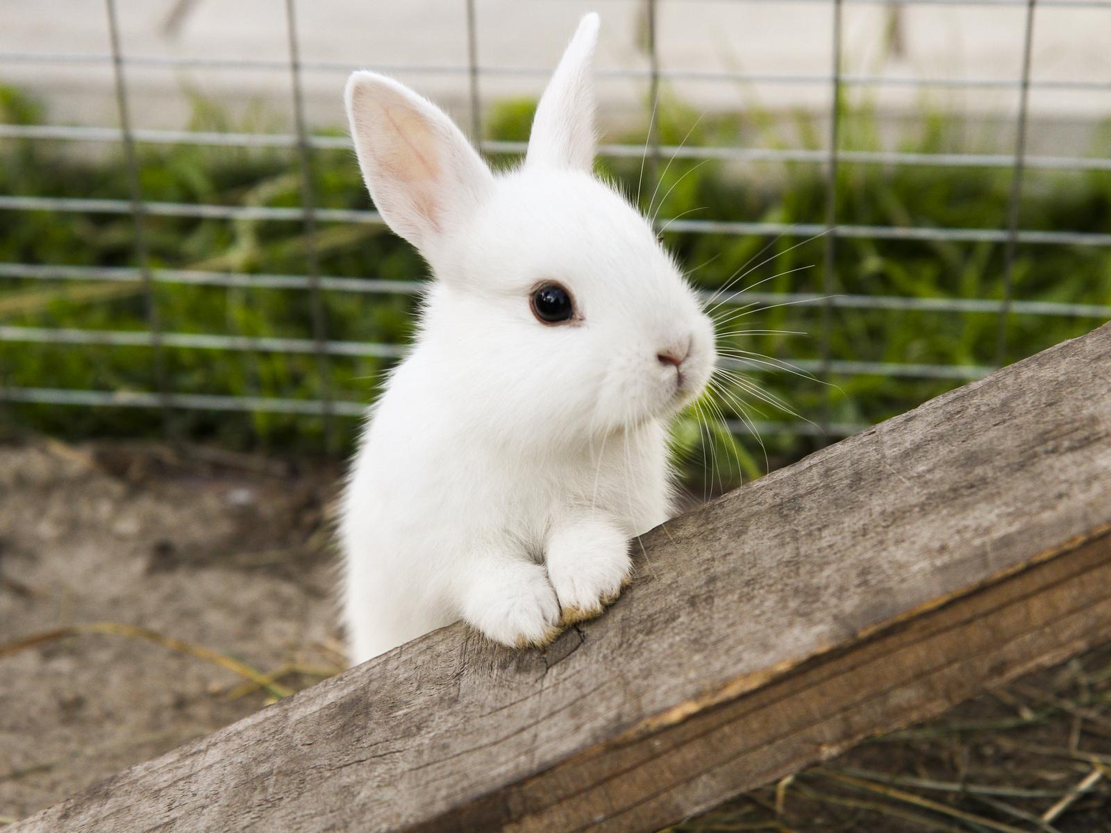 Hình ảnh chú thỏ trắng lông mao xinh đẹp