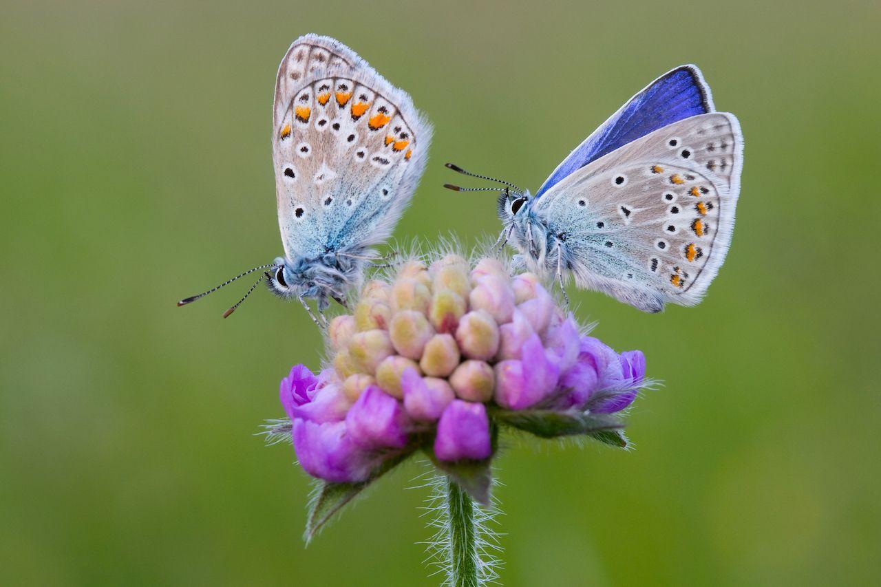 Hình ảnh hai cánh bướm nhạt màu rất xinh đẹp