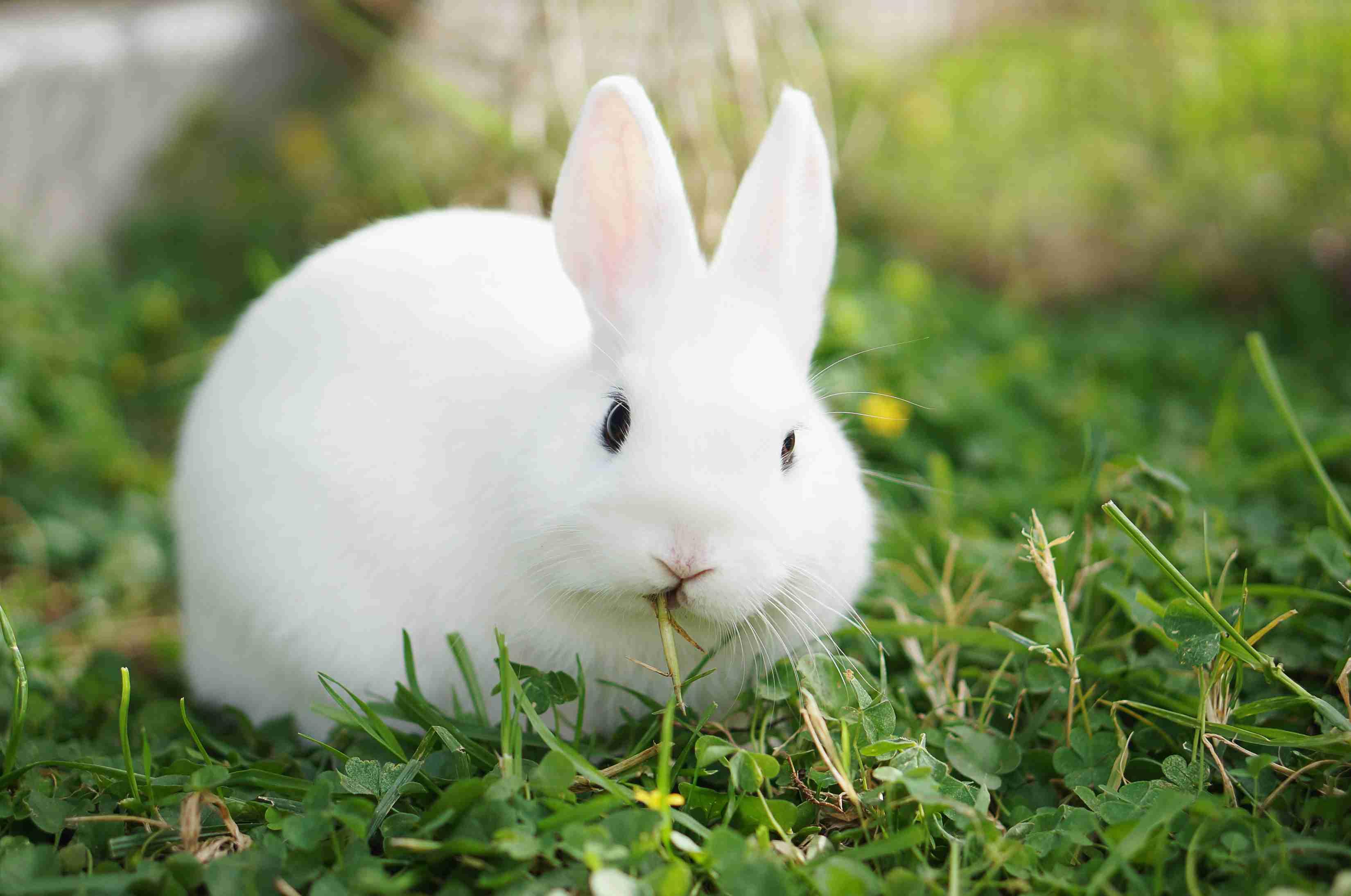 Hình ảnh thỏ lông trắng xinh đẹp