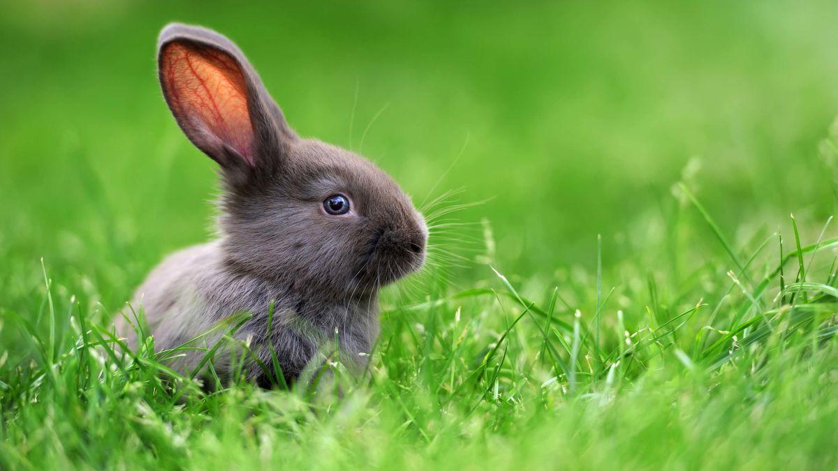 Hình ảnh thỏ xám mắt xanh trên đồng cỏ