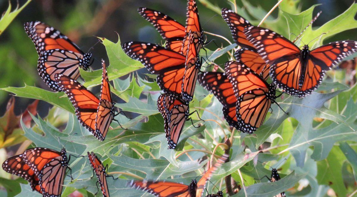 Một đàn bướm cam rất đẹp