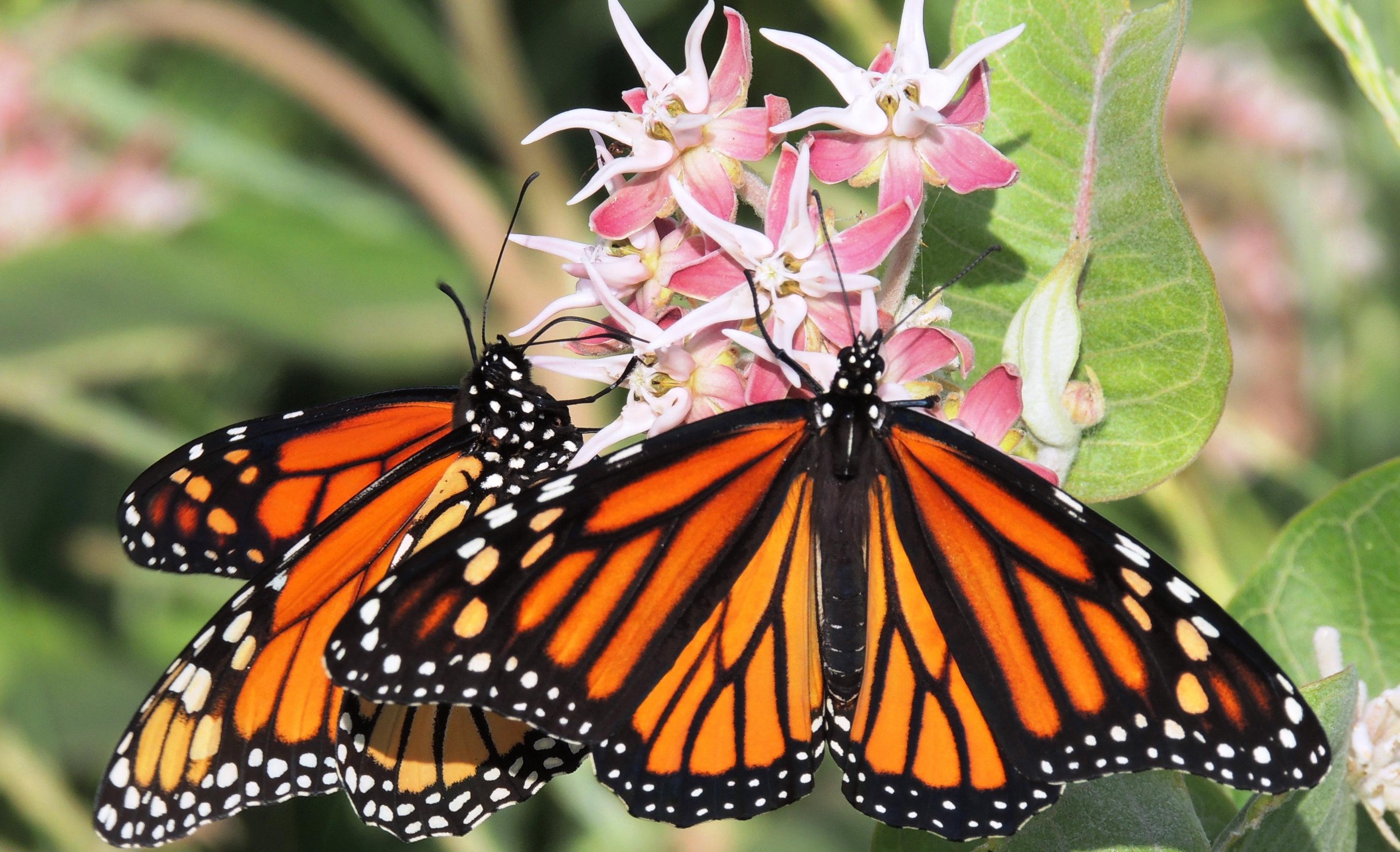 Nhiều cánh bướm cùng đậu trên một khóm hóa