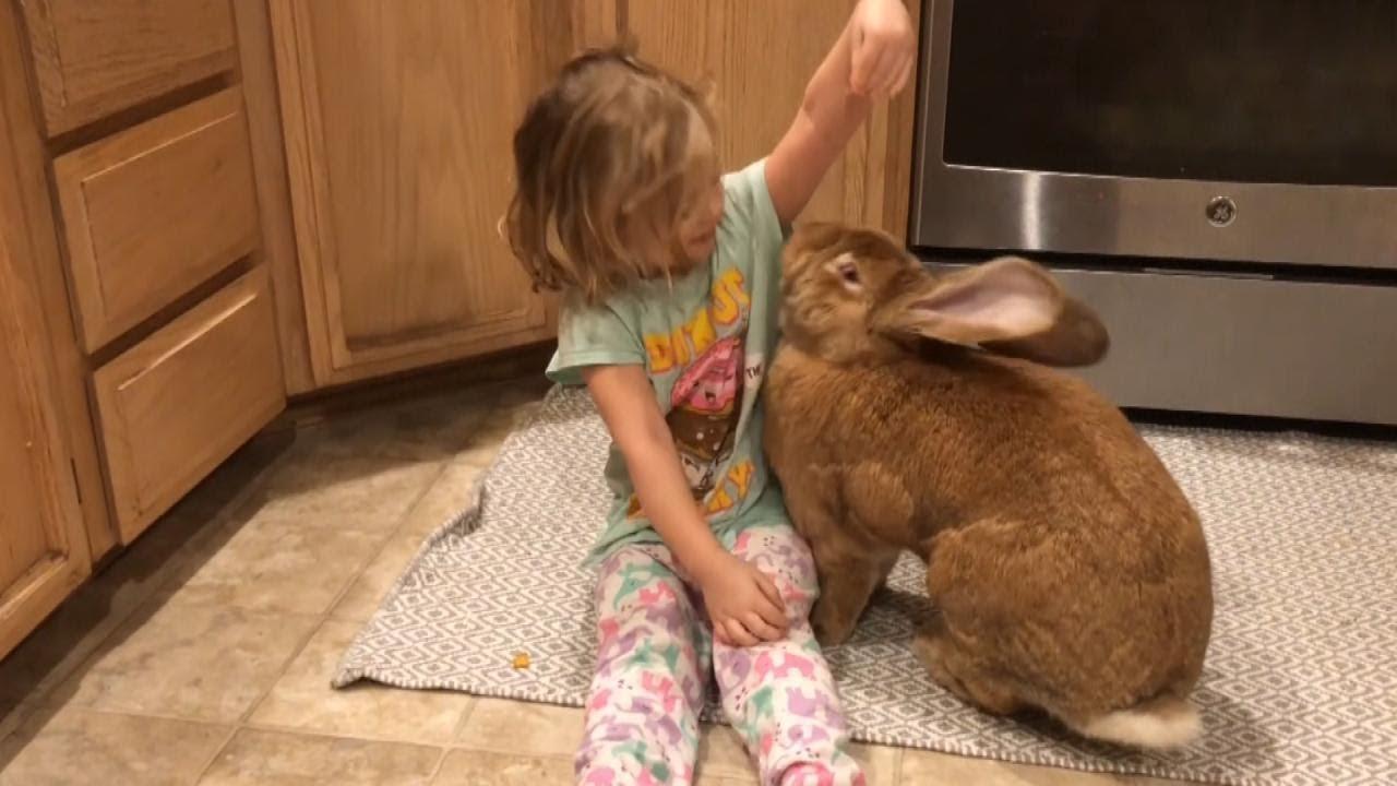 Thỏ to gần bằng đứa bé gái