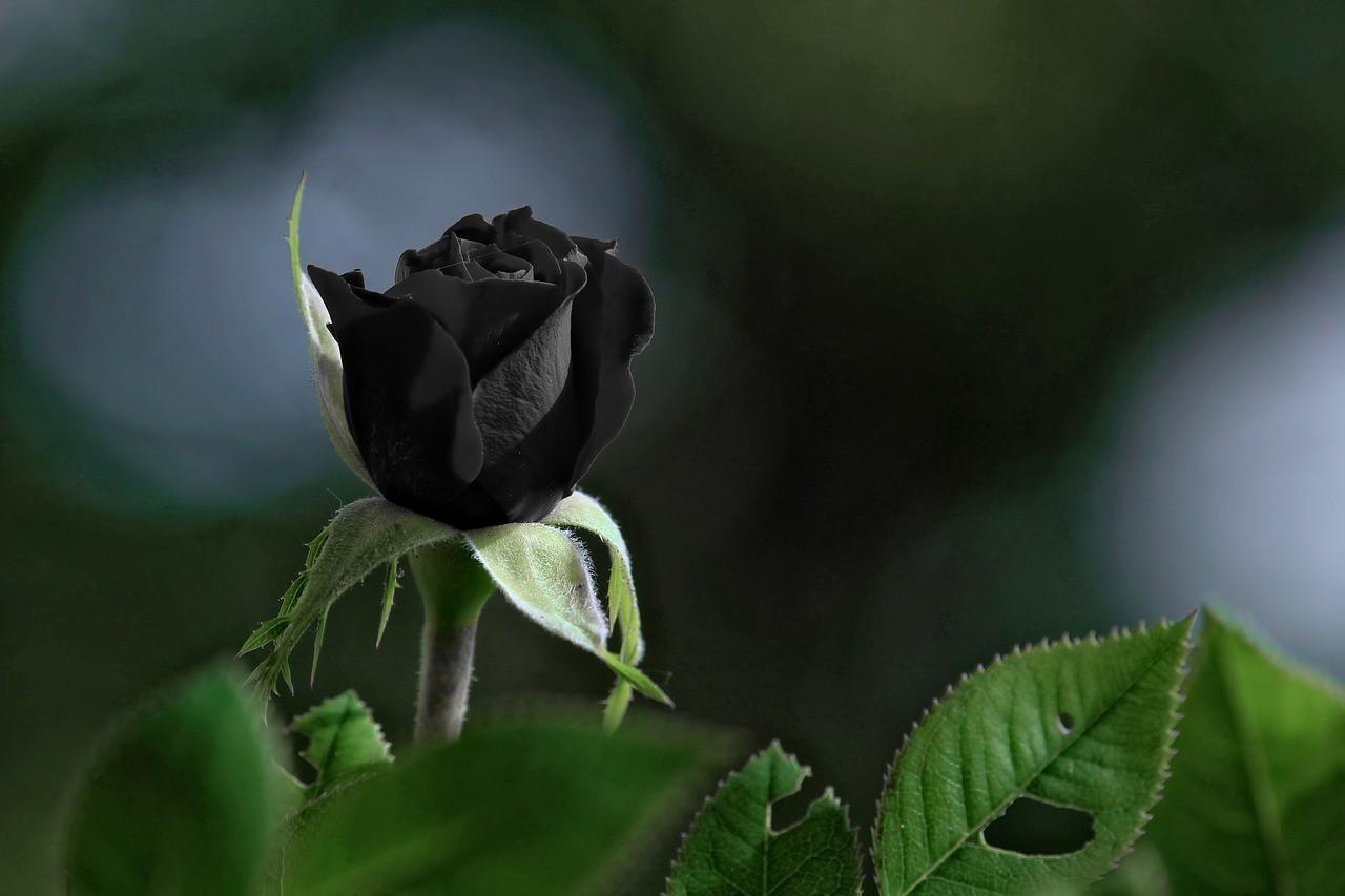 Ảnh hoa hồng đen đẹp nhất