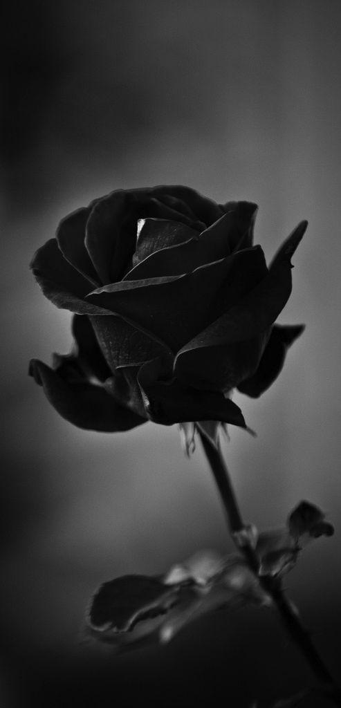 Ảnh hoa hồng đen thất tình đẹp nhất