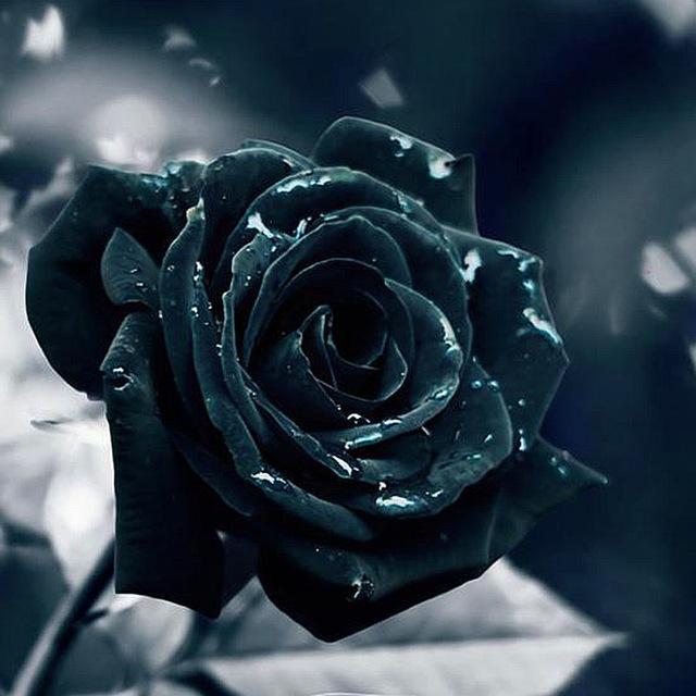 Hình ảnh bông hoa hồng đen cực chất