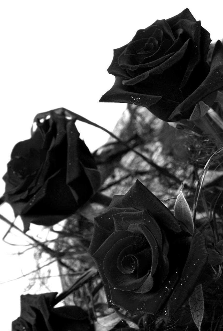 Hình ảnh hao hồng đen đẹp nhất