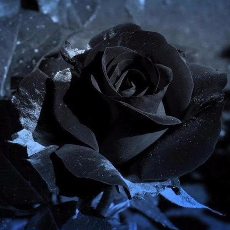 Hình ảnh hoa hồng đen chất nhất
