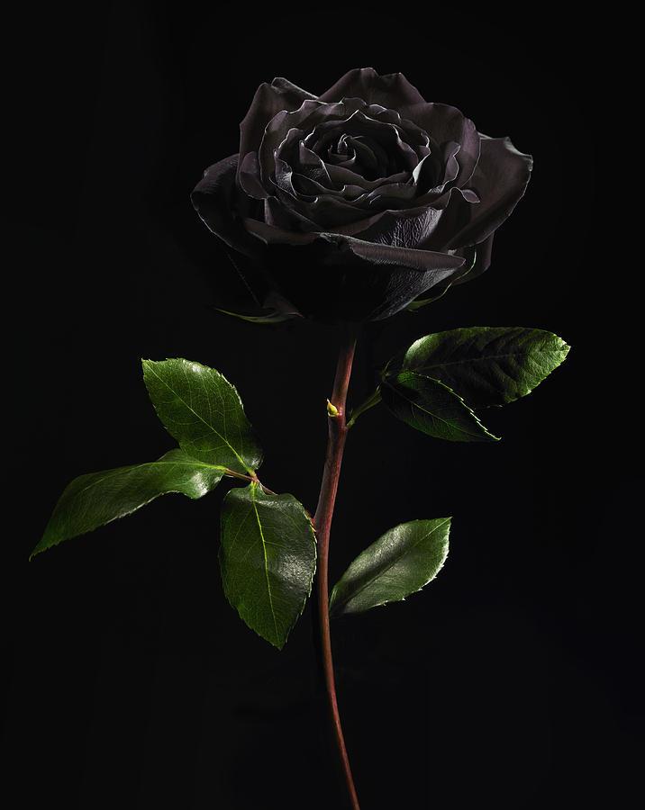 Hình ảnh hoa hồng đen cực đẹp