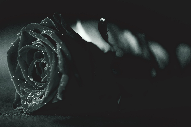 Hình ảnh hoa hồng đen đẹp nhất