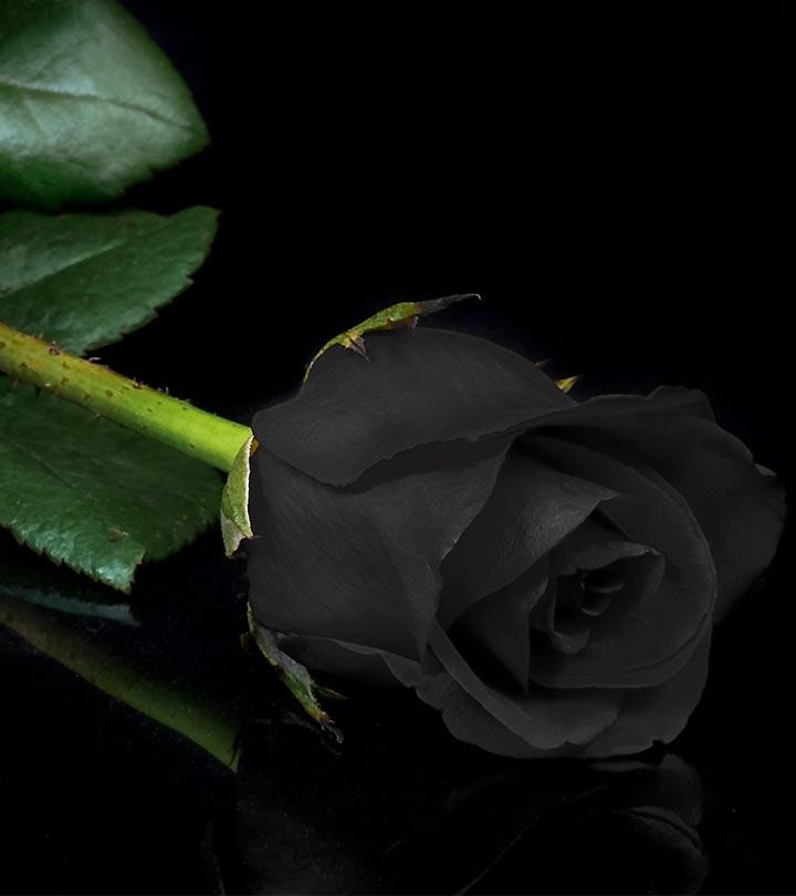 Hình ảnh nụ hoa hồng đen cực đẹp