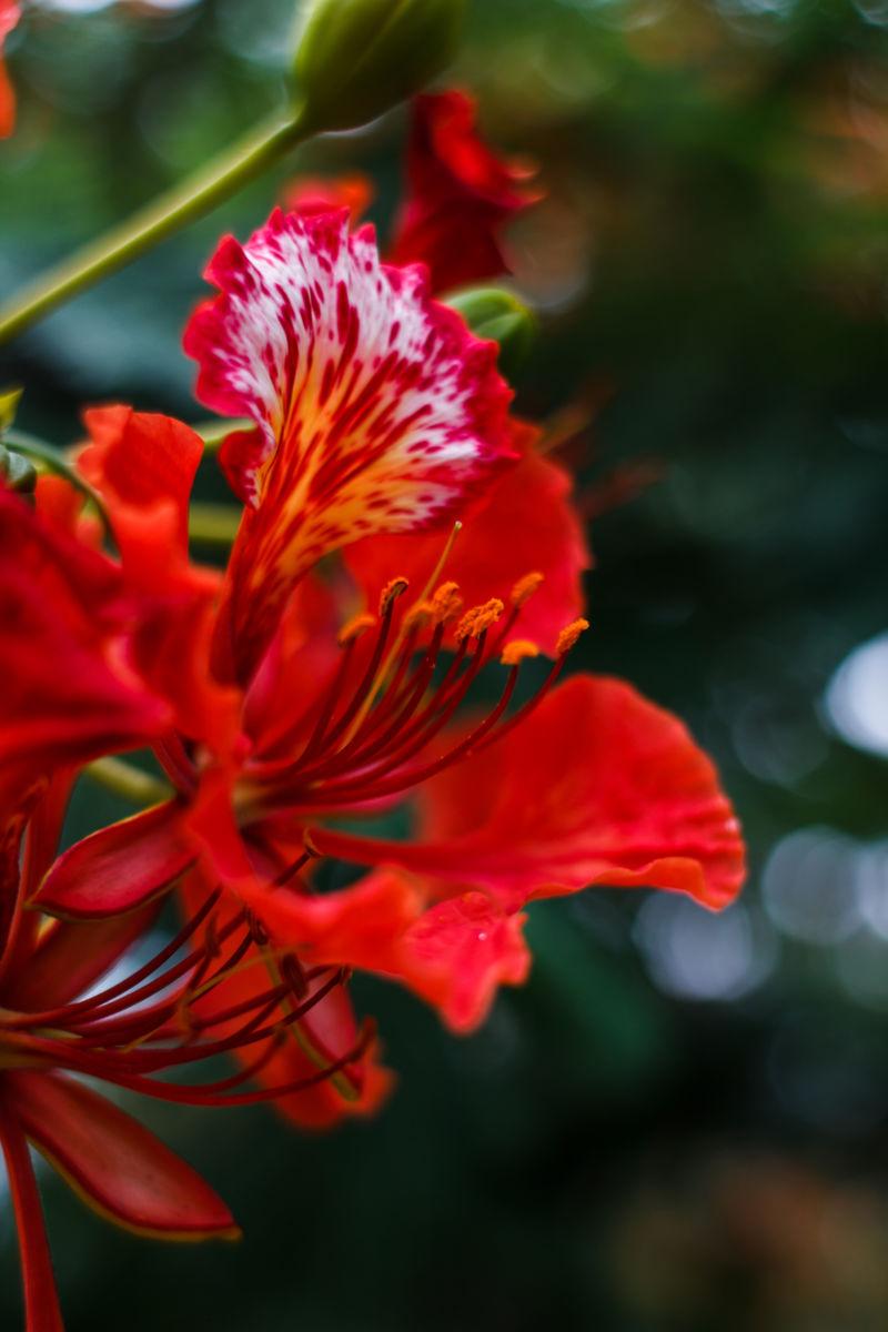 Bông hoa phượng vĩ đỏ thắm